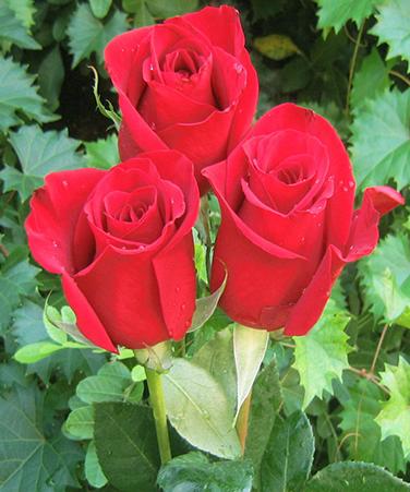 Signification Nombre Rose Rouge Photo De Fleur Une Pensee Fleuriste