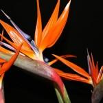 Oiseau du Paradis - Fleuriste Gascon à Terrebonne