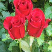 Signification du nombre de roses